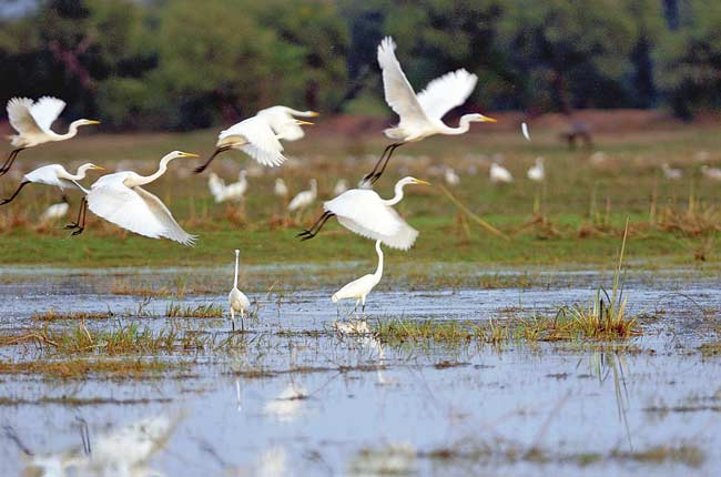 Great egrets take off from a wetland at Keoladeo National Park in Rajasthan. PIC/AFP