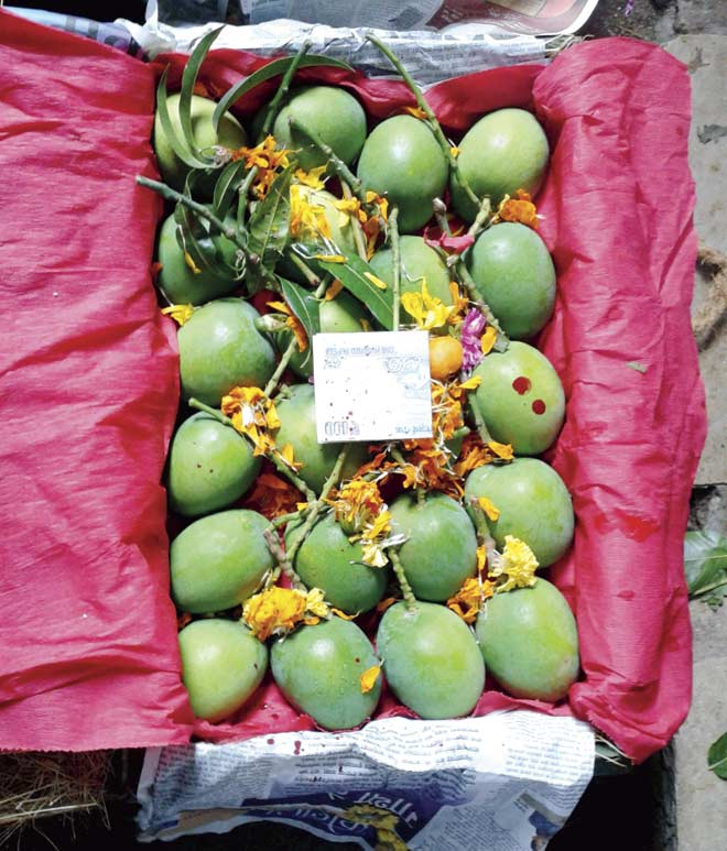 The first batch of mangoes arrived at the APMC in Vashi yesterday, after favourable climatic conditions facilitated early flowering in the orchards